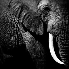 Elephant - Kenya (Eric Lafforgue) Tags: africa old elephant black game male kenya culture tribal safari tribes afrika tradition tribe ethnic defense tribo 309 tusk afrique ethnology tribu eastafrica qunia lafforgue ethnie  qunia infinestyle    kea     a