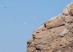flying to their nest (venetia koussia) Tags: blue seagulls swimming sundown geranium rockybeach sandybeach sporades skiathosisland summeringreece  greekfona