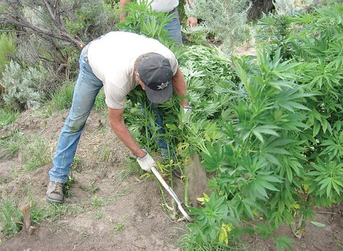 ... in connection with the three marijuana grows in Malheur County on Aug