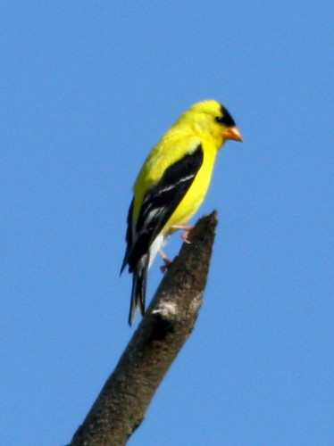 American Goldfinch 20090813