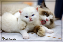 (Rule of Rose ..) Tags: sleeping two cats baby white black cute love strange beautiful beauty look sisters cat bag psp crazy cool kitten sad sweet brothers brother sleep tag poor twin sleepy hide scream afraid asleep scare awful ragdoll sweety cutes yahel kittin cuty    freands kittins  kittn     yahil   kissablekat ragdol bestofcats sleepey        catmoments  ragdols  cannon900
