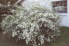 025_22A - Spireae (k_joelsen326) Tags: pink red white azaleas landscaping blossoms violet shrubbery fushia whiteflowers bridalwreath spireae woodyplants