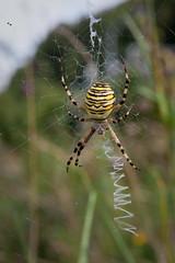 Argiope bruennichi (biologo) Tags: black yellow female switzerland spiders stripes web bern animalia arthropoda arachnida argiope araneae argiopebruennichi araneidae chelicerata araneomorphae spinnentiere araneoidea