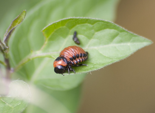 Colorado Potato beetle larva (1)