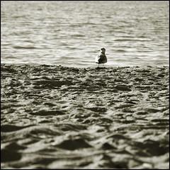 <) ( CHRISTIAN ) Tags: park light blur bird beach water monochrome river square sand focus eau lumire sable rivire national qubec duotone plage oiseau flou carr plaisance  outaouais parcnational bestofr