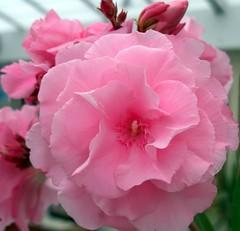Pink flower. (maya_dragonfly) Tags: pink flower macro nature flora olympus greenhouse pottedplant pinkflower botany oleander pinkoleander summer09 goldenmix