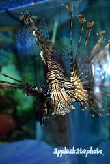 pez leon (1) (Appleskatephoto) Tags: fish tank malawi cichlids ciclidos mbunas