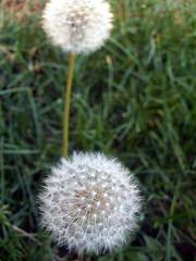 Dandelion_92509c