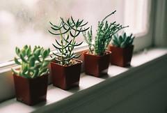 (sylvanwye) Tags: canon rebel g 100 konica succulents vx