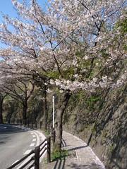Hanami in Zushi (Ryokou) Tags: flower japan kanagawa hanami zushi