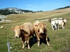 Siamese Cows (will_cyclist) Tags: france alps cycling cows petitbornand colducenise cowsx