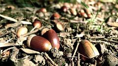 どんぐり - acorns