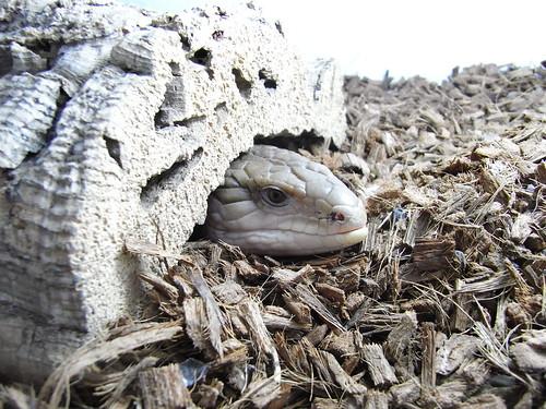 メラウケアオジタトカゲ