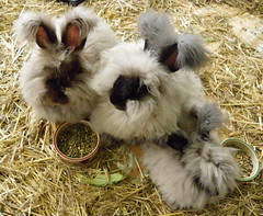 Topping skye and Elvis (ixchelbunny) Tags: bunnies english rabbits angora ixchel ixchelbunny