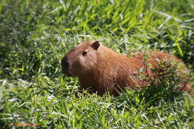 Capivara (Hydrochoerus hydrochaeris) - Capybara - 22-11-2009 - IMG_6656 by Flvio Cruvinel Brando
