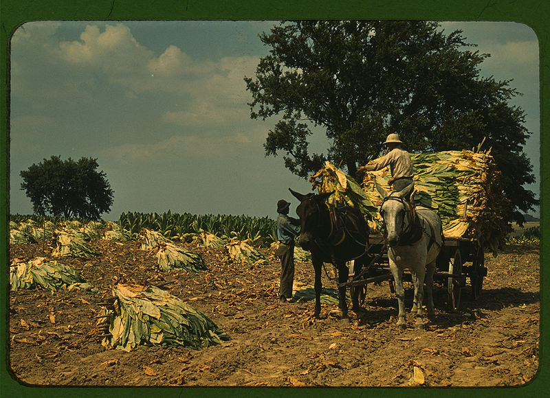 Tobacco Harvesting 1