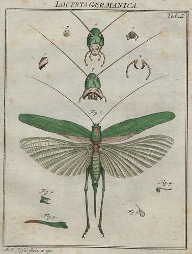 Locusta germanica V.2 a