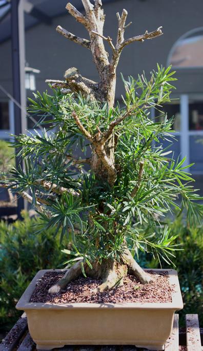 Podocarpus initial potting