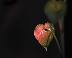 Love is... (Isabella Casanova) Tags: love nature foglie canon leaf flora natura foliage amour foglia leafs amore liebe 500d canon500d foliages 100commentgroup mygearandme theinspirationgroup theuniverseofphotography