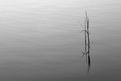 Encounter with solitude (Fly bye!) Tags: lake plant reed water leaf ripples mere marbury bigmere