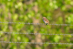 Song Sparrow DSC_7263 by Mully410 * Images