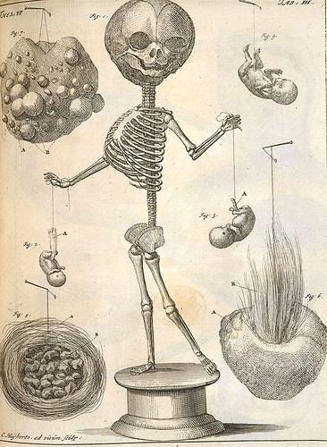 ruysch skeleton w strings