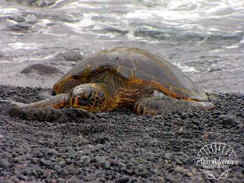Punalu'u Black Sand Beach: Big Island