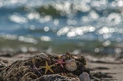 12 febbraio 2017, una giornata al mare... (adrianaaprati) Tags: mare sea shell conchiglia coquille schale bokeh mer meer calma allaperto acqua water blur starfish sand sabbia beach spiaggia