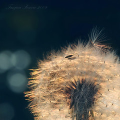 sunset capturer (Tanjica Perovic Photography) Tags: lighting light sunset red summer plant flower macro nature yellow closeup backlight square photography soft fotograf photographer bokeh softness cyan squareformat backlit sunsetlight puffball pissenlit dandelionclock pusteblume taraxacumofficinale paardebloem  summersun summerlight dandelionseeds summermood lionstooth srpski cottonlike karahindiba gyermeklncf  sigma1770mm fotografija  canoneos400d   dandelionsnow parachuteball  tanjicaperovicphotography