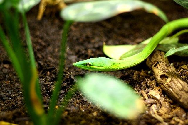 green snake2