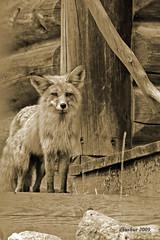 Days Past (dbushue) Tags: red sepia gold cabin montana searchthebest wildlife fox porch naturesfinest coth supershot abigfave staraward betterthangood damniwishidtakenthat fantasticwildlife alittlebeauty coth5 favoritenw10 dailynaturetnc10 photocontesttnc11
