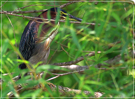 mr_green_heron01