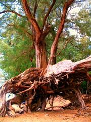 Kauai 2 092 (flea55) Tags: ocean trees hawaii roots kauai beaches keebeach