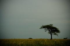 De rbol a rbol ( SandroG) Tags: naturaleza parquesnacionales tree rain arbol nationalpark lluvia alone garcia entrerios solitario sandro elpalmar villaelisa benedetti sandrog sandrogarcia safaribaelpalmar topcso