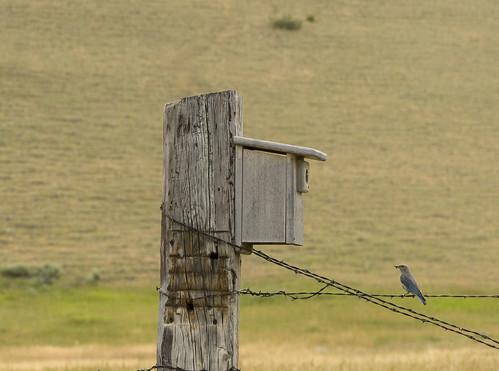 Blue Bird2