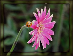 Getting ready for take off..... (Choulabags) Tags: canon bokeh devon gerbera ladybird 1001nights choulabags