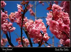 Cherry blossom (Cheeseburger Man!!) Tags: pink blue stilllife garden cherry blossom canoneos450d canonefs1855mmf3556is completeniksoftwarecollection