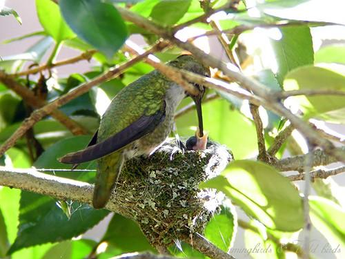 Anna's Hummingbird nest baby e02091
