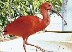 (bata ez) Tags: red italy bird italia liguria ibis genoa genova rosso acquario uccello biosfera portoantico ibisscarlatto yourcountry