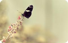 Deceptive Beauty (Katrina Lui) Tags: sanfrancisco goldengatepark flower nature butterfly rainforest tropical academyofsciences dorislongwing heliconiusdoris landlife willkillyouwhenyouleastexpectit academylovelife