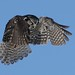 hawk owl hovering