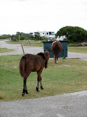 Dumpster Divers (furlong47) Tags: camping horses horse maryland pony ponies furnace oceancity assateagueisland wildponies wildhorses assateague wildhorse wildpony furnacetown