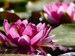 Pink Water Lilies in the Sun (Day 78/365) (debit72) Tags: california ca pink flower reflection water pond technology lily bokeh institute lilies baxter pasadena day78 caltech project365 78365 365losangeles assignment52402009