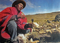Poachers return to the southern Andes killing thousands of vicuñas
