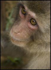 Japanese Macaque (clasch) Tags: japan monkey kyoto asia asien arashiyama asie nikkor japon singe affe macaque kinki 55200 japanesemacaque makak iwatayama macaquejaponais d40x
