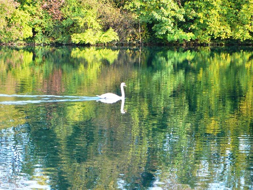 A swan on the River Aare
