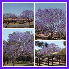 # 282E - 9th October - Bloomin' gorgeous (Ruthyf - the evil one, kinda :)) Tags: fdsflickrtoys jacaranda project365 jacarandatrees