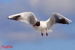 (New Species # 375) A Black-Headed Gull (tinyfishy) Tags: black bird finland flying inflight helsinki europe gull eurasian rare headed blackheadedgull code3 flickrdiamond