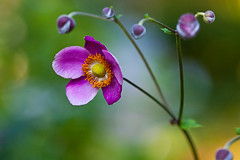 (HisPhotographs.com) Tags: orange flower macro green up closeup canon lens eos close purple bokeh 100mm stems bud f28 ef 50d