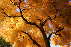 Autumn gold (Outrageous Images) Tags: autumn tree fall gold turning outrageousimages davewadsworth